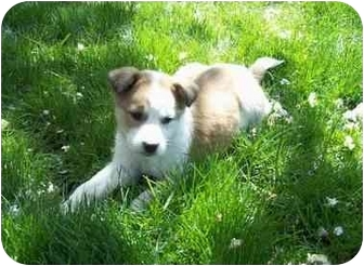 Australian Shepherd/Collie Mix Puppy for adoption in Broomfield, Colorado - Raton