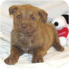 Labrador Retriever/Shepherd (Unknown Type) Mix Puppy for adoption in Bel Air, Maryland - Weston
