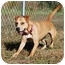 Photo 2 - American Pit Bull Terrier/Labrador Retriever Mix Dog for adoption in Vineland, New Jersey - Sheena