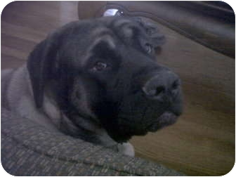 Mastiff Dog for adoption in Beavercreek, Ohio - SCARLET (Courtesy Listing)