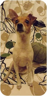 Jack Russell Terrier/Italian Greyhound Mix Dog for adoption in Dallas, Texas - Toby