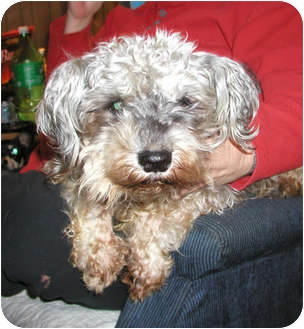 Miniature Poodle/Cairn Terrier Mix Dog for adoption in Seattle, Washington - Mini Pups-NEED URGENT FOSTERS