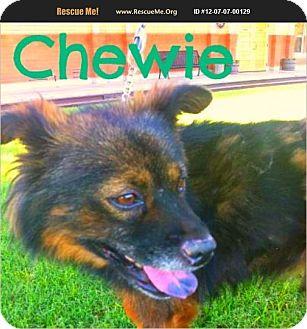 Chow Chow/Keeshond Mix Dog for adoption in Scottsdale, Arizona - Chewie