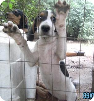 Hound (Unknown Type) Mix Puppy for adoption in Birmingham, Alabama - Decker