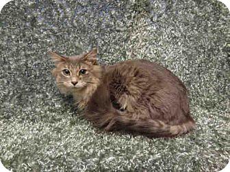 Domestic Mediumhair Cat for adoption in Arlington, Virginia - Max