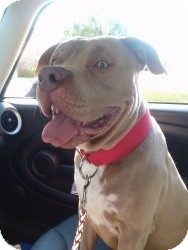 Pit Bull Terrier Dog for adoption in Mary Esther, Florida - Smooch