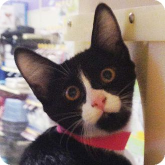 Domestic Shorthair Kitten for adoption in Weatherford, Texas - Trixie