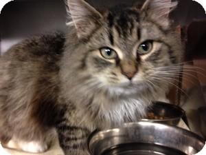 Domestic Mediumhair Kitten for adoption in Voorhees, New Jersey - Nutmeg