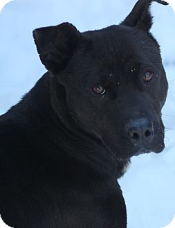 Pit Bull Terrier Mix Dog for adoption in Middlebury, Connecticut - Anaba