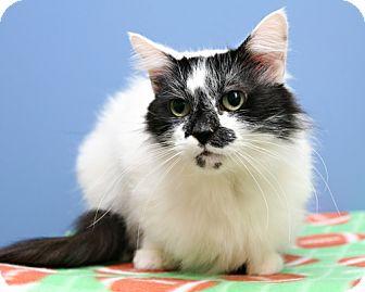 Domestic Mediumhair Cat for adoption in Bellingham, Washington - Bunny