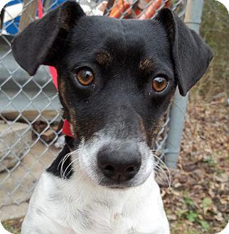 Dachshund/Rat Terrier Mix Dog for adoption in Lancaster, Texas - Mailman