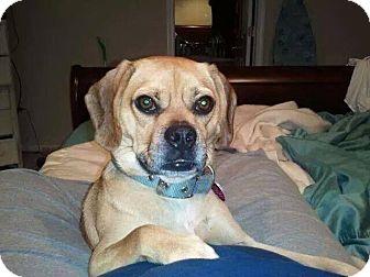 Pug/Beagle Mix Dog for adoption in Davison, Michigan - Levi