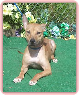 Pharaoh Hound Mix Puppy for adoption in Marietta, Georgia - HOPE
