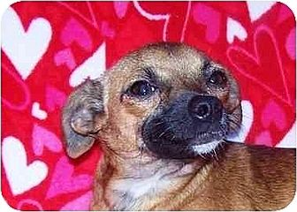 Chihuahua Mix Puppy for adoption in Old Fort, North Carolina - Frankie