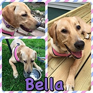 Labrador Retriever Mix Puppy for adoption in Kenmore, New York - Bella