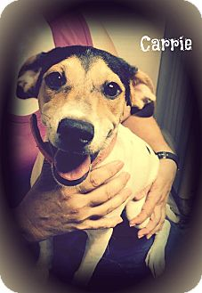Jack Russell Terrier/Terrier (Unknown Type, Medium) Mix Dog for adoption in Cranford, New Jersey - Carrie