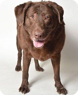 Labrador Retriever Mix Dog for adoption in San Francisco, California - Zoey