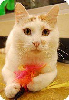 Domestic Shorthair Cat for adoption in Hillside, Illinois - Cooper-CUTE, CUDDLY & FUN