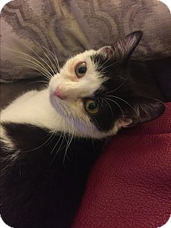 Domestic Shorthair Kitten for adoption in Richmond, Virginia - Half Pint