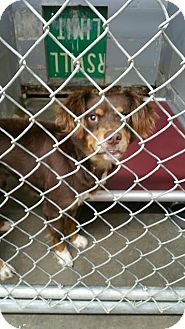 Boykin Spaniel Mix Dog for adoption in Sandersville, Georgia - Gucci