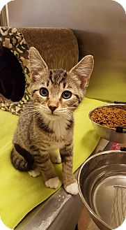 Domestic Shorthair Kitten for adoption in Bensalem, Pennsylvania - Beliza