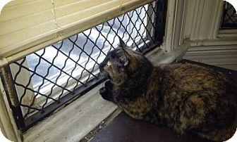 Domestic Shorthair Cat for adoption in Baltimore, Maryland - Megan - COURTESY POST