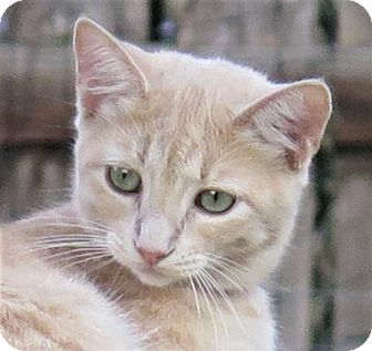 Domestic Shorthair Cat for adoption in Gonzales, Texas - Sprite