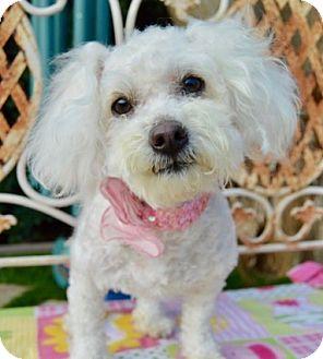 Maltese/Poodle (Miniature) Mix Dog for adoption in Irvine, California - Rosita
