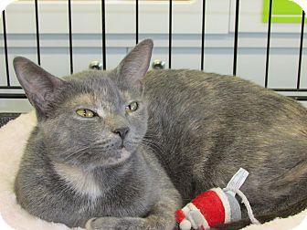 Domestic Shorthair Cat for adoption in Richmond, Virginia - Calli