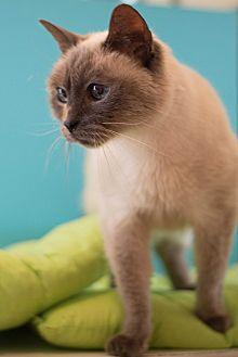 Siamese Cat for adoption in Los Angeles, California - Coco