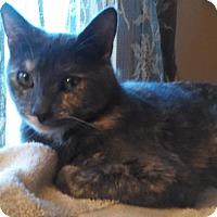 Adopt A Pet :: Tortie - brewerton, NY