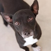 Jack Russell Terrier Mix Dog for adoption in Kyle, Texas - JADA