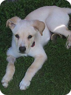 Labrador Retriever Mix Puppy for adoption in Conesus, New York - Hunter