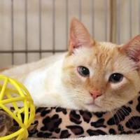 Siamese/Domestic Shorthair Mix Cat for adoption in Waco, Texas - Sampson