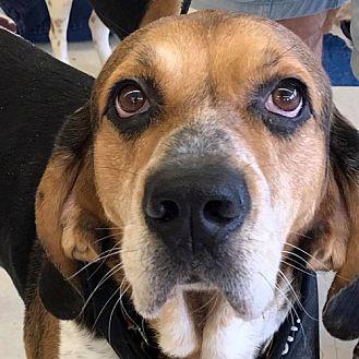 Hound (Unknown Type) Mix Dog for adoption in Fairfax, Virginia - Goose *Adopt or Foster*
