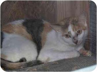 American Shorthair Cat for adoption in Broken Bow, Oklahoma - Fancy