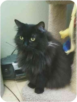 Domestic Longhair Cat for adoption in Las Vegas, Nevada - Chloe