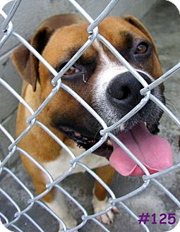 Boxer Mix Dog for adoption in Floyd, Virginia - URGENT - AT POUND #125