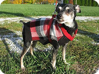 Miniature Pinscher/Chihuahua Mix Dog for adoption in Indianapolis, Indiana - Monty