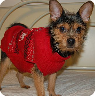 Yorkie, Yorkshire Terrier/Chihuahua Mix Dog for adoption in Hazard, Kentucky - Snookie~Prison Obedience Train