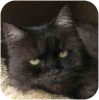 Maine Coon Cat for adoption in Davis, California - Holly