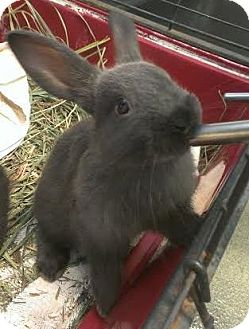 New Zealand Mix for adoption in Westminster, California - Belle