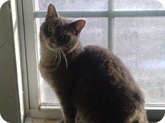 Domestic Shorthair Cat for adoption in Hampton, Virginia - PEARL