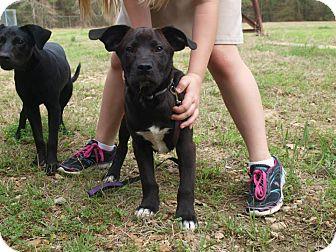 Labrador Retriever Mix Dog for adoption in Oakdale, Louisiana - Conner