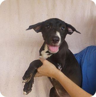 German Shorthaired Pointer/Australian Shepherd Mix Puppy for adoption in Oviedo, Florida - Lucy