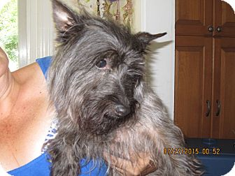 Cairn Terrier/Scottie, Scottish Terrier Mix Dog for adoption in Glastonbury, Connecticut - Chewey - courtesy