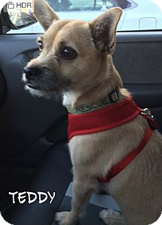 Border Terrier/Chihuahua Mix Dog for adoption in Haggerstown, Maryland - Teddy