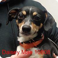 Adopt A Pet :: Daisey Mae - Greencastle, NC