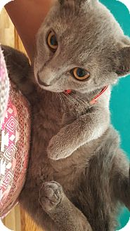 Domestic Shorthair Kitten for adoption in East Windsor, New Jersey - Grayson/ Grey