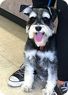 Miniature Schnauzer Dog for adoption in Sharonville, Ohio - Coozie~~ADOPTION PENDING